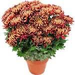 Chrysanthème bordeaux